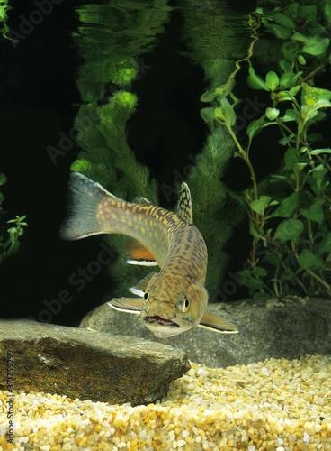 Photo Brook Trout, salvelinus fontinalis
