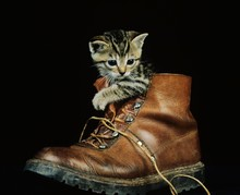 Brown Tabby Domestic Cat, Kitten Playing In Shoe
