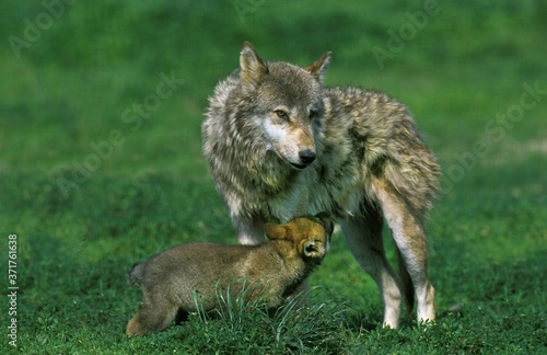 Fotografie, Obraz European Wolf, canis lupus, Mother and Cub