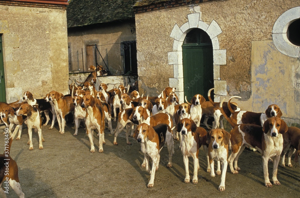 Fototapeta Poitevin Dog, Pack of Foxhounds