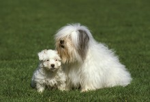 Coton De Tulear Dog, Mother With Pup Sitting On Grass