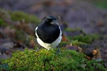 Black Billed Magpie Or European Magpie, Pica Pica, Normandy