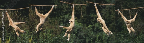 Photo White-Handed Gibbon, hylobates lar, Moving, hanging from Liana, Movement Sequenc