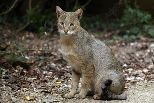 Jungle Cat, felis chaus, Female Fototapet