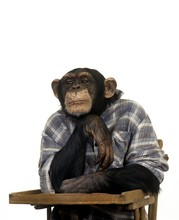 Chimpanzee, Pan Troglodytes, Trained Animal With Man Clothes Sitting In Highchair