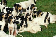 Ariegeois Houd, Pack Of Dogs