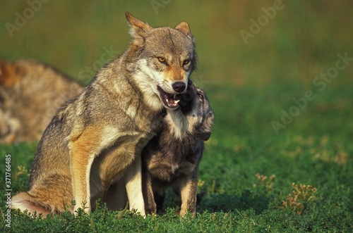 European Wolf, canis lupus, Mother with Pup Fototapet