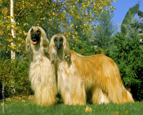 Afghan Hound, Dog standing on Lawn Canvas Print