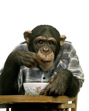 Chimpanzee, Pan Troglodytes Eating Breakfast