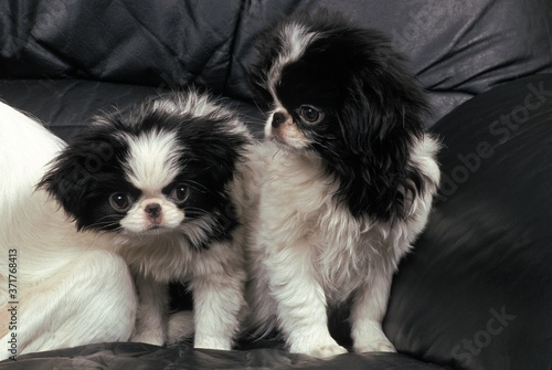 Japanese Spaniel Dog, Puppies sitting on Sofa Billede på lærred