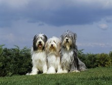 Bearded Collie, Dog Sitting On Lawn