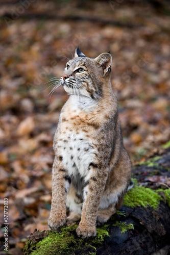 Fotografie, Obraz European Lynx, felis lynx