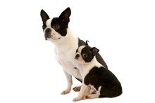 Boston Terrier Dog, Mother Wit...