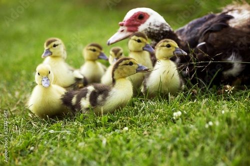 Photo Muskovy Duck, cairina moschata, Mother and Ducklings
