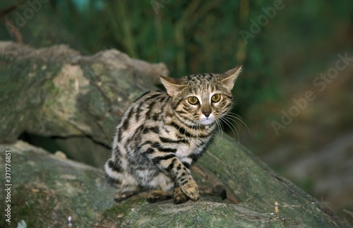 Black-footed Cat, felis nigripes Fototapet