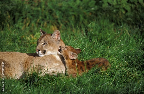 Cougar, puma concolor, Mother and Cub Licking Fototapet