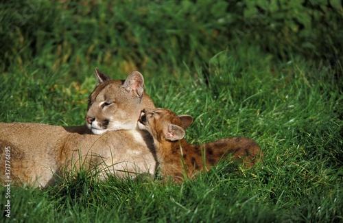 Fotografie, Obraz Cougar, puma concolor, Mother and Cub Licking