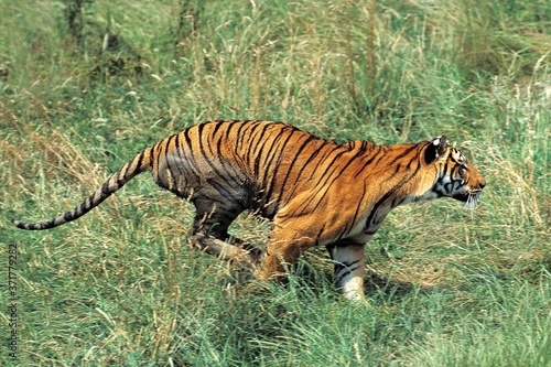Bengal Tiger, panthera tigris tigris, Adult Running Wallpaper Mural