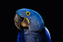 Bright Blue Hyacinth Macaw Parrot On Black Background