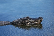 American Alligator, Alligator ...