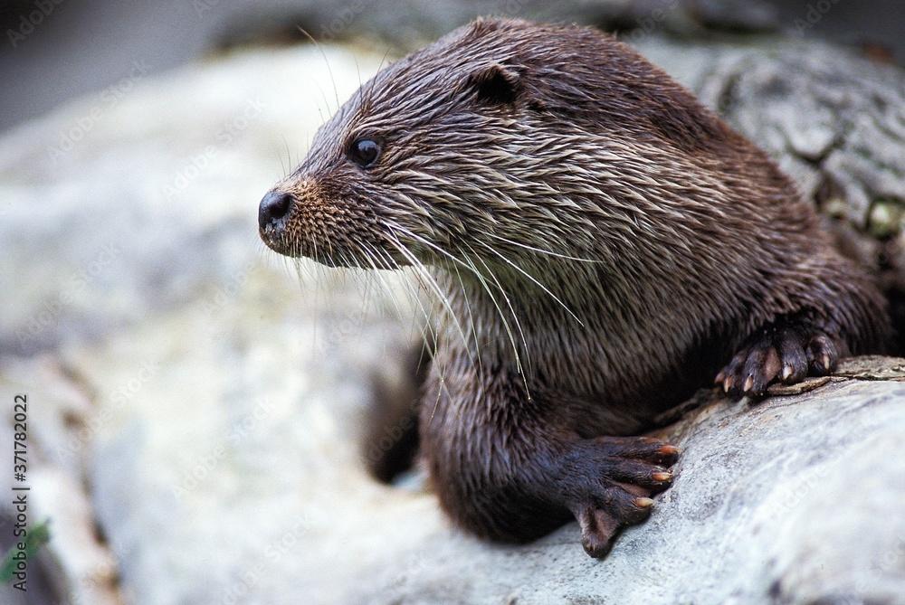 Fototapeta European Otter, lutra lutra