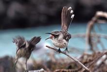 Galapagos Mockingbird, Nesomim...