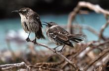 Galapagos Mockingbird, Nesomimus Parvulus, Galapagos Islands