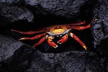 Sally Lightfoot Crab, Grapsus ...