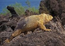 Galapagos Land Iguana, Conolophus Subcristatus, Galapagos Islands