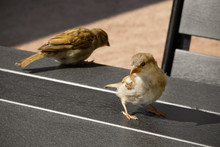 Two Brown Sparrows On The Table, Outdoor.