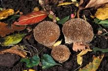 Spiny Puffball, Lycoperdon Echinatum, Normandy