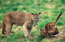 Cougar, Puma Concolor, Mother And Cub