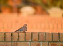 Laughing Dove Or Love Doves Pe...
