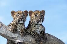 Leopard, Panthera Pardus, Cub Standing On Branch