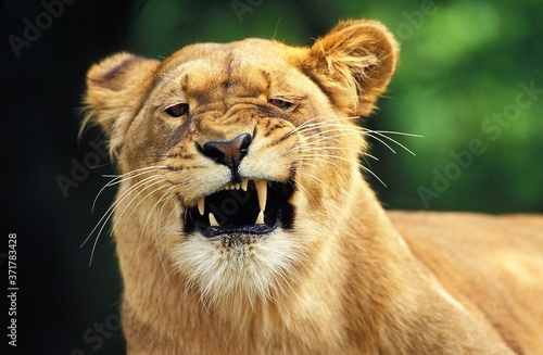 African Lion, panthera leo, Female with Funny Face, Masai Mara Park in Kenya Fotobehang