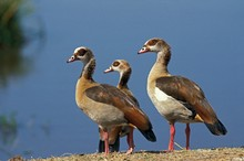 Egyptian Goose, Alopochen Aegyptiacus, Pair And Chick