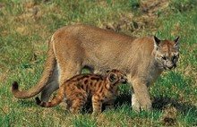 Cougar, Puma Concolor, Adult S...