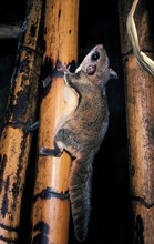 Siberian Flying Squirrel, Pter...