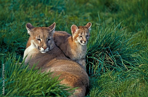 Cougar, puma concolor, Adult standing on Rocks Wallpaper Mural
