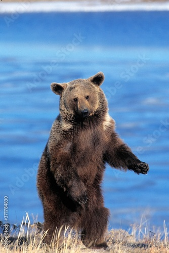 Photo Grizzly Bear, ursus arctos horribilis, Standing on Hind Legs, Alaska