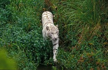 White Tiger, Panthera Tigris
