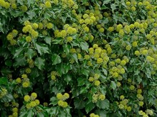 English Ivy Flowers, Hedera He...