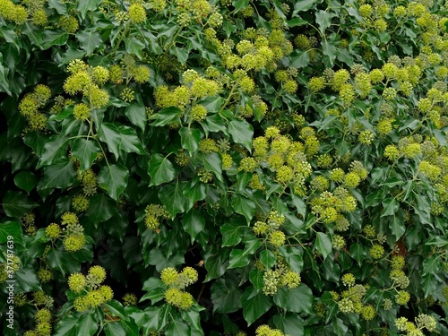 Foto English Ivy flowers, hedera helix, Aquitaine, France