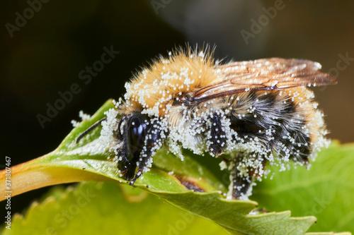Bourdon recouvert de pollen. фототапет