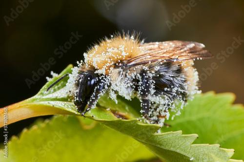 Платно Bourdon recouvert de pollen.
