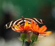 Close Up Of An Heliconius Charithonia Butterfly On Orange Flowers On A Green Bokeh Background