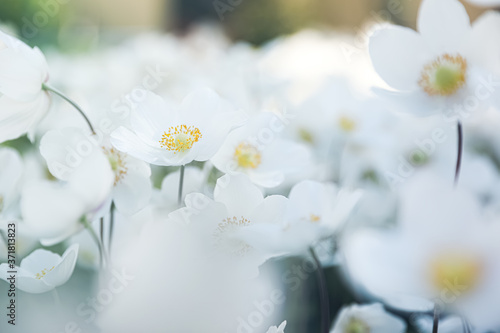 Canvas Print Beautiful blossoming Japanese anemone flowers outdoors on spring day