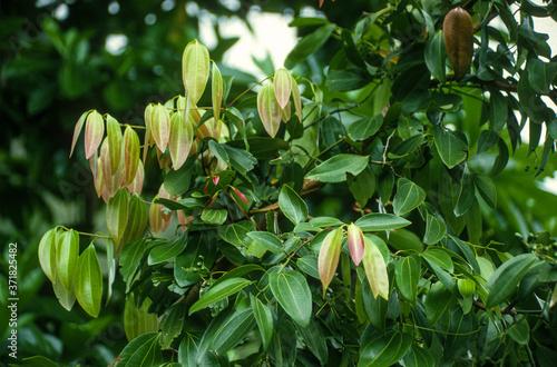 Cannelier, Cannelle, Cinnamomum verum Fototapeta
