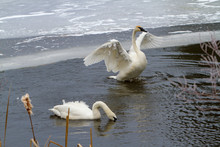 A Trumpeter Swan With Wings Spread Swimming In An Icey River Near Sunriver, Oregon