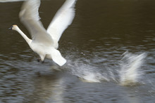 A Trumpeter Swan Just Taking F...